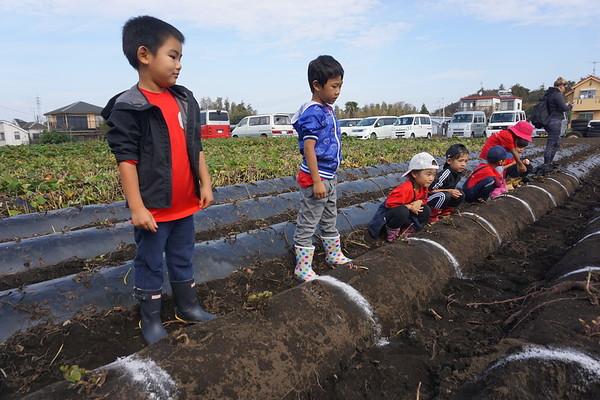 Kindergarten Sweet Potato Harvesting