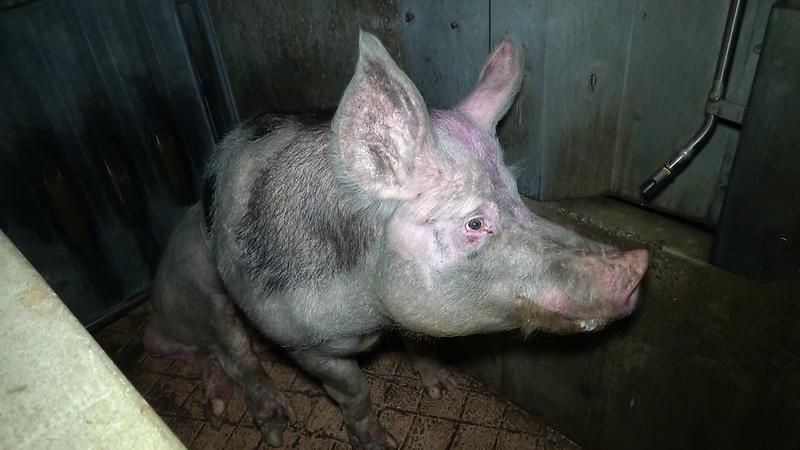 cochon-misereux-porcherie.png