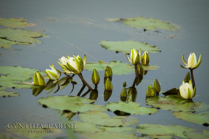 Lotus_LagowCPP.jpg