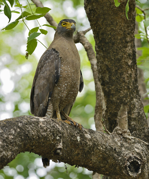 Crested-Serpent-Eagle-02.jpg