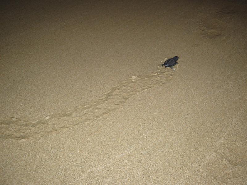 2007-11-30-0041-Las Alamandas in Jalisco, Mexico with Hahns-Sea Turtles Hatched from Rescued Eggs at Las Almandas.jpg