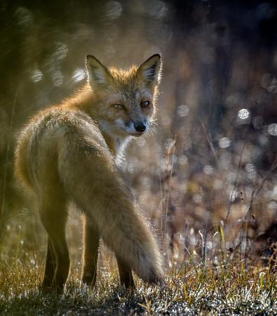 Red Fox on Assateague Island