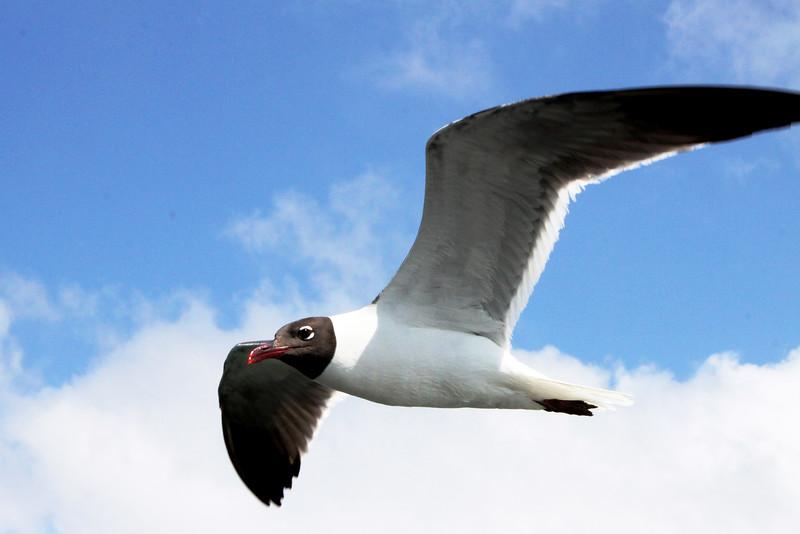 IMG_0097 new laughing gull.jpg