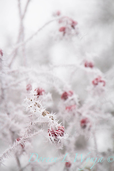 Winter frosted red rosehips_9480.jpg
