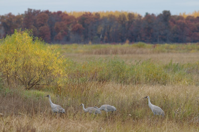 Sandhill Crane Crex Meadows Grantsburg WI IMG_0001299.jpg