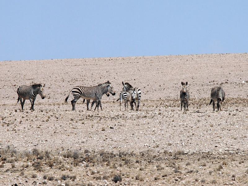P3220195-zebras.JPG
