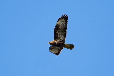 Vråkar – Buzzards/Hawks