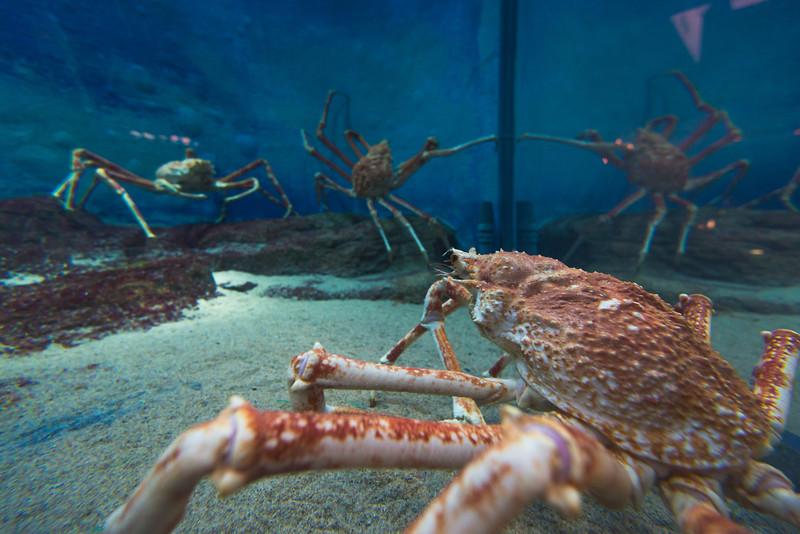 Crabs at Kinosaki Marine World