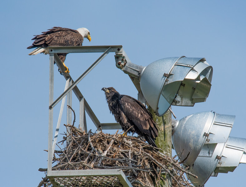 Bald Eagle Nest BE994 - April 23, 2021