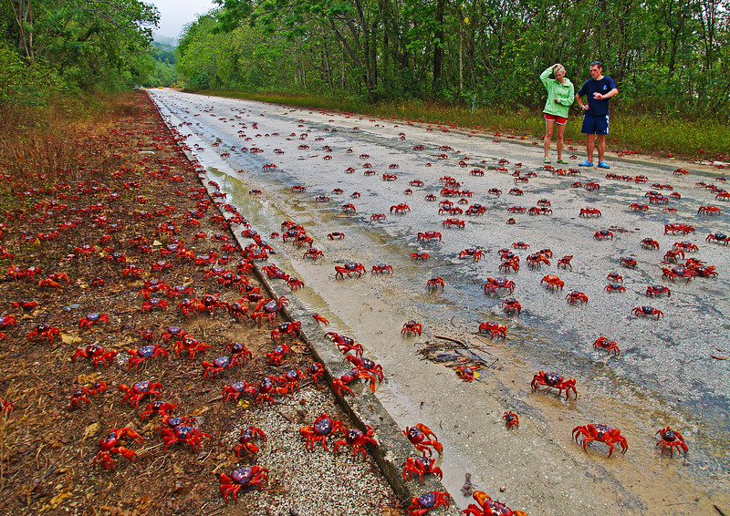 Image Title: Red Crabs Migration At Drumsite.  Image No. pc104635b