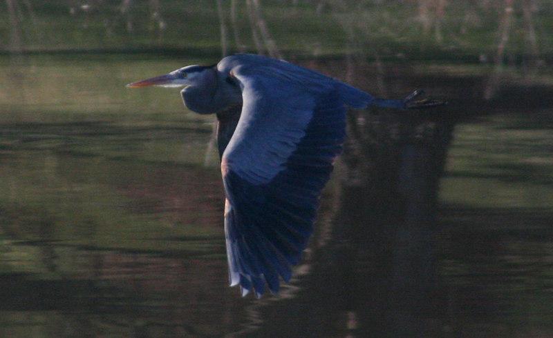 Heron fly 1.jpg