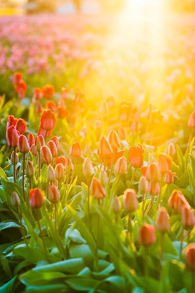 Tulips at Sunrise-9.jpg