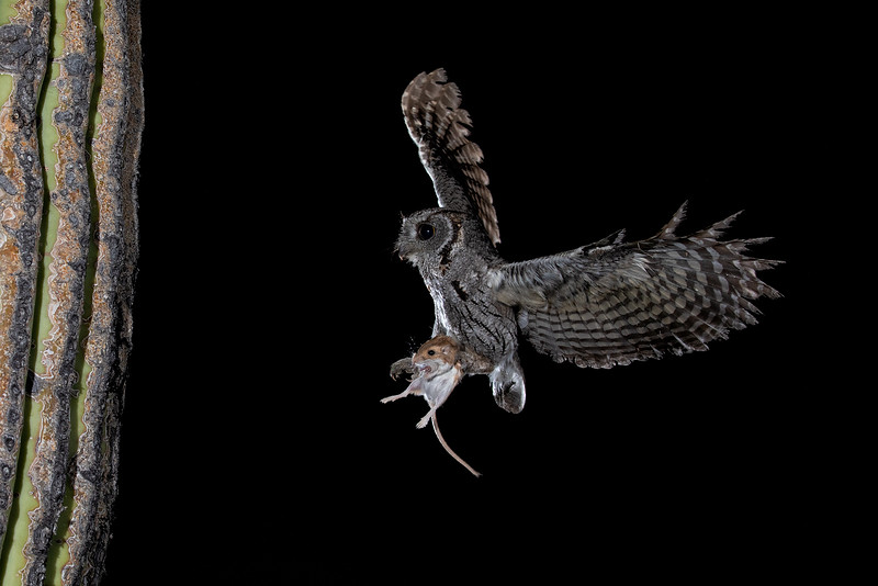 screech owl with rat.JPG