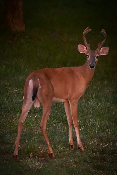Obviously a Buck (male deer), identifiable by the big uh... antlers!