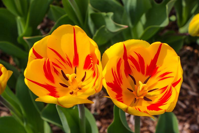 Tulips near the Netherlands Carillon