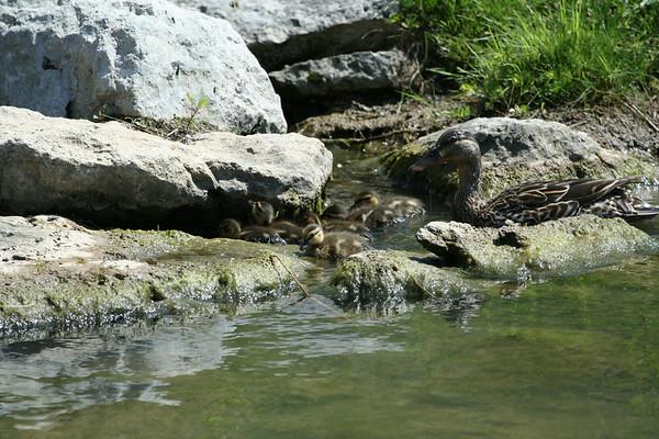 Ducks - 2007