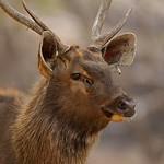 Head of a male Sambar Deer (Cervus unicolor niger)  in Ranthambore national park