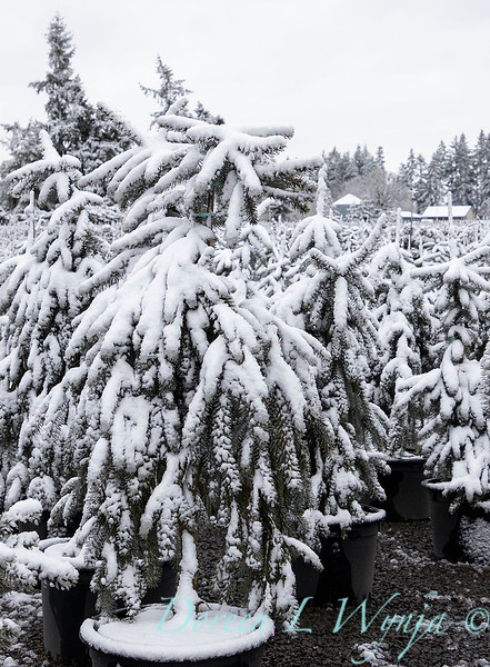 Picea pungens 'The Blues' in snow_4207.jpg