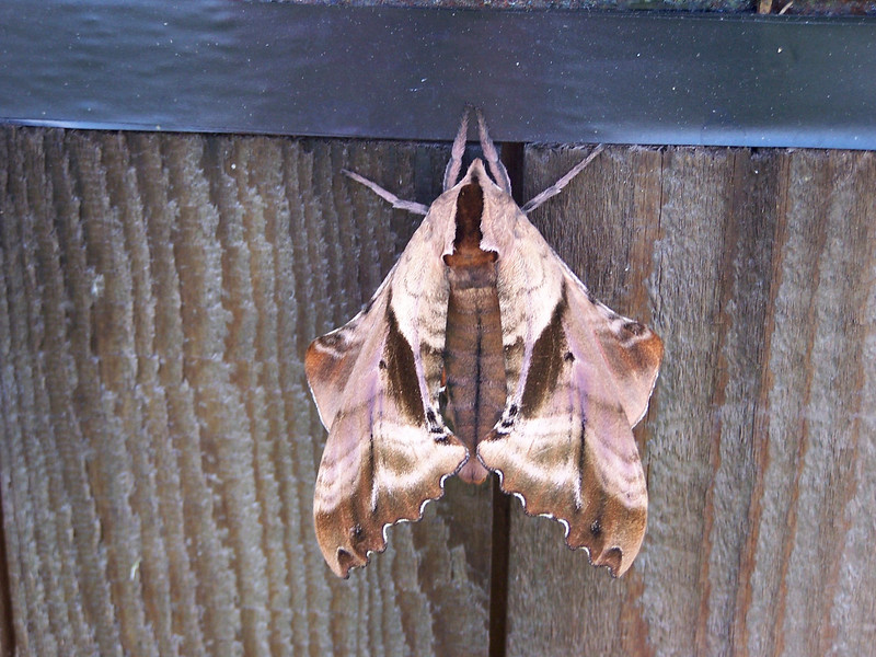 10_3_19 Brown Leaf Moth.jpg