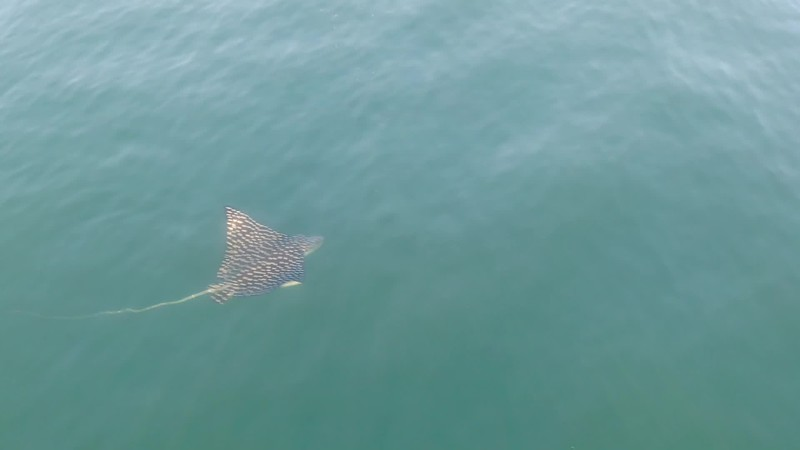 Eagle Ray Stingray from a Drone