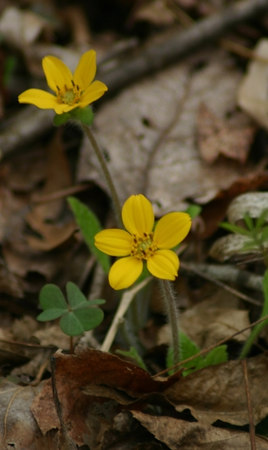 Crysogonum virginianum