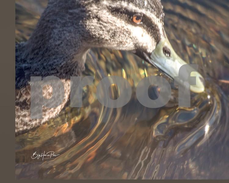 Thredbo river duck 4 june 19,2019-1 - Copy.jpg