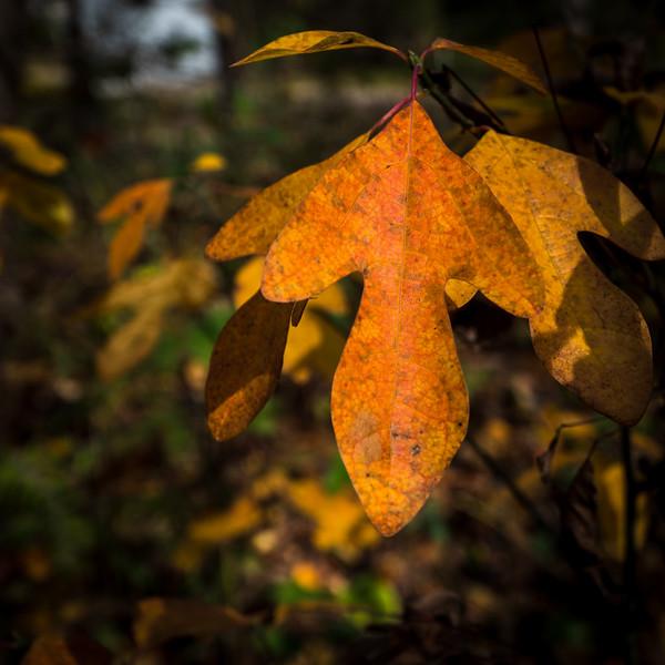 Autumn leaf at the Nan Weston Preserve