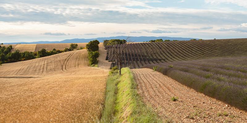 Entre blé et lavande, plateau de Valensole