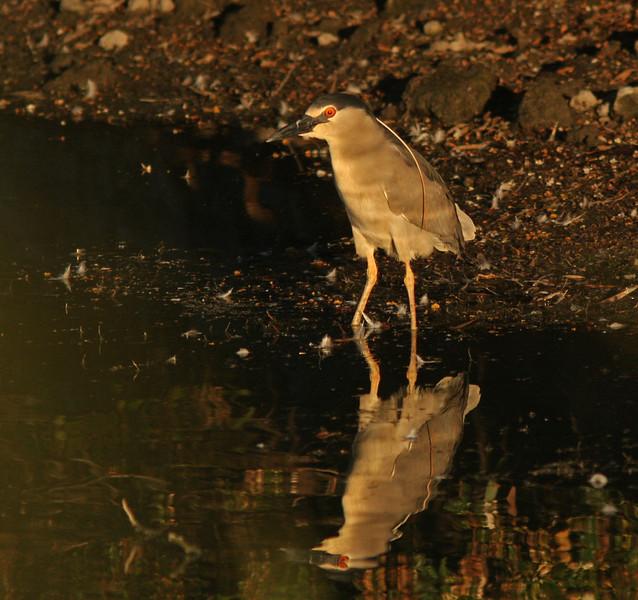 WB~Night heron reflectionmorning1280.jpg