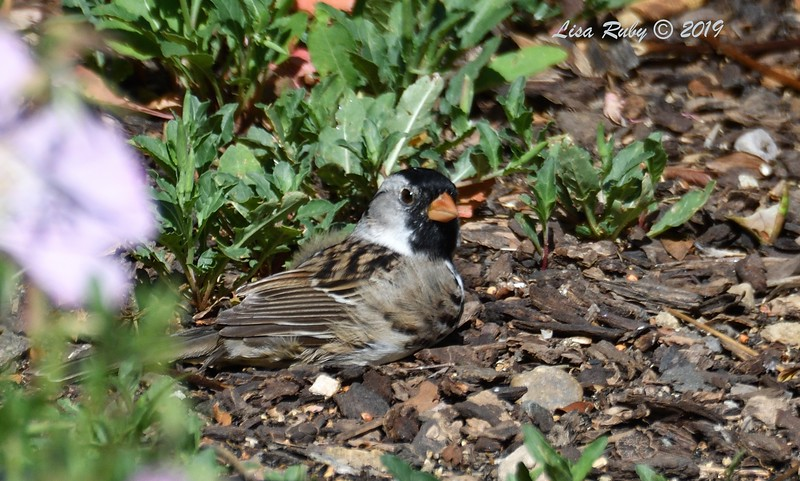Harris's Sparrow - 4/23/2019 - Backyard Sabre Springs