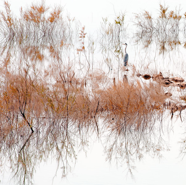 Heron in the reeds.jpg