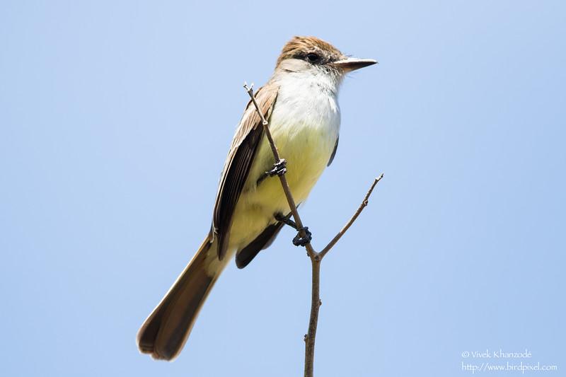 Brown-crested Flycatcher - Little Tobago Island, Tobago