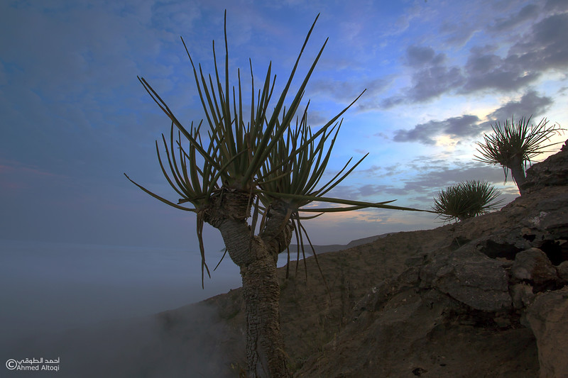 dragon blood tree - Dhofar 5.jpg