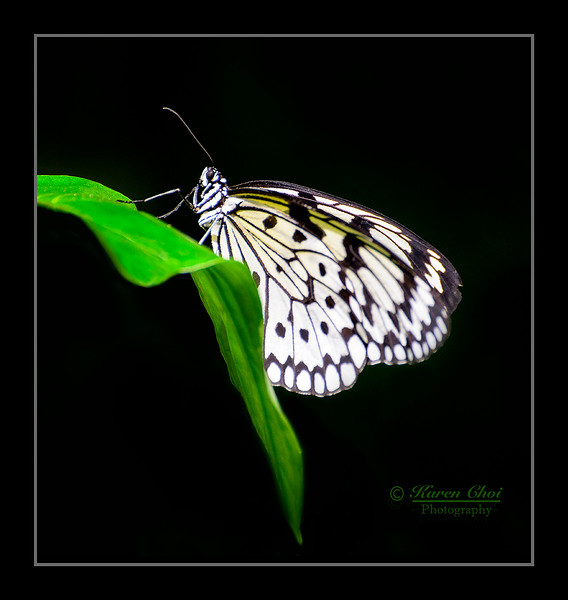 black and white butterfly on green leaf sm.jpg