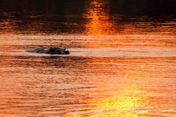 Nature 2015 Hippopotamus and Rhinoceros