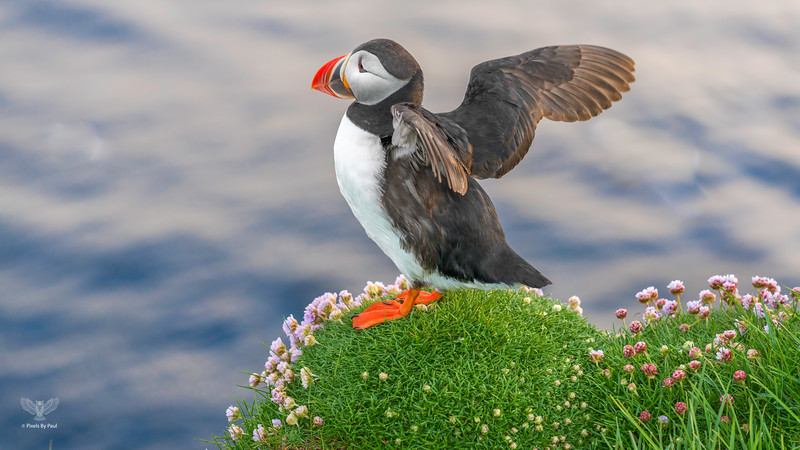 046 Puffin Wings 4 16x9.jpg