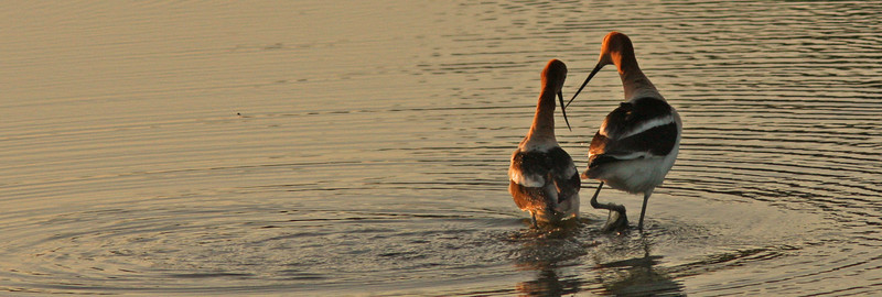 avocetmatingwalk1600.jpg
