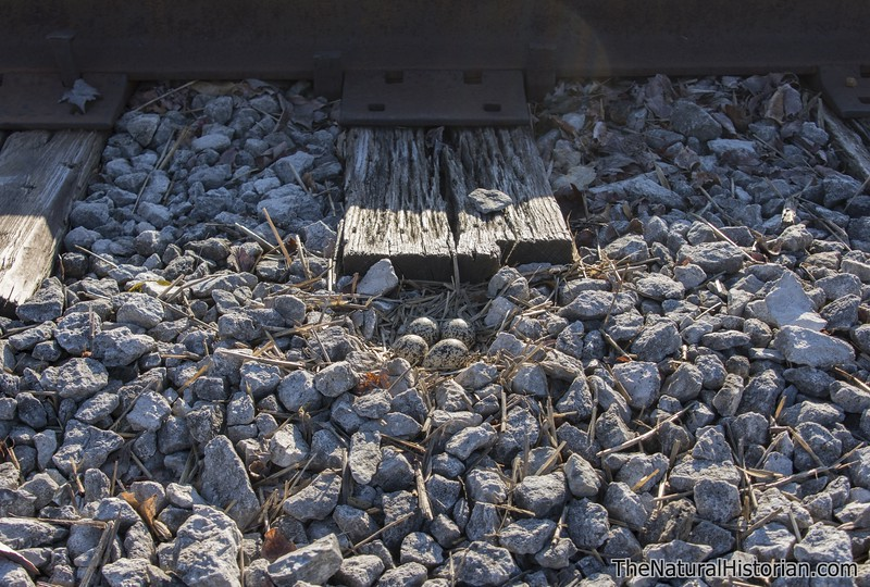 Killdeer-eggs-nest-railroad-tracks2-Canton.jpg