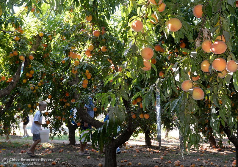 Fruit lovers pick peaches at the CSUC University Farm U-Pick Peach orchards in Chico, Calif. Thurs. Aug. 10, 2017. (Bill Husa -- Enterprise-Record)
