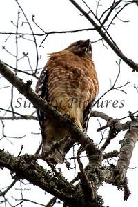 Hawk  014