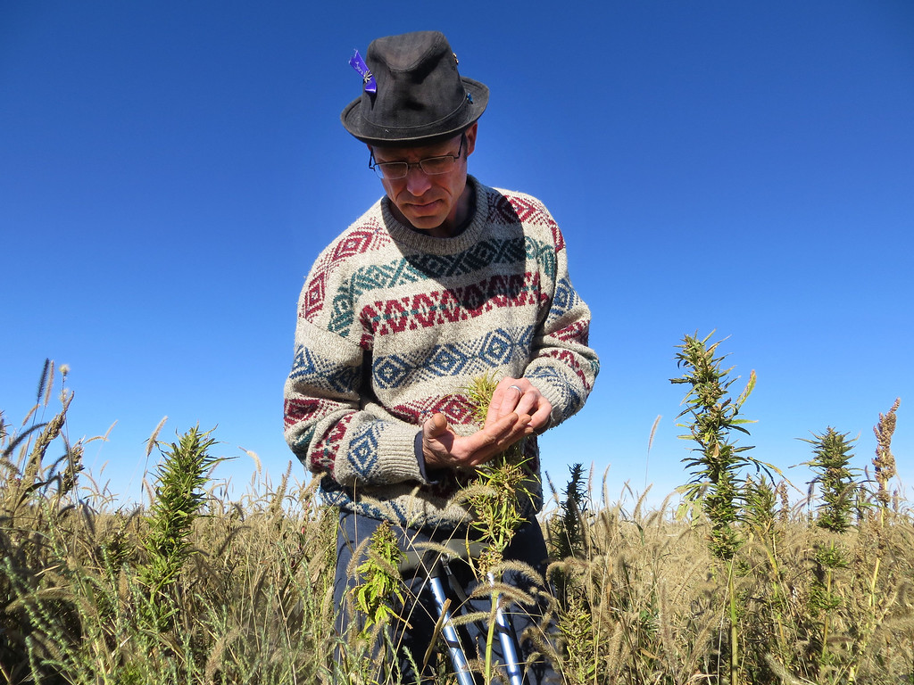. In this Oct. 5, 2013 photo, Jason Lauve, executive director of Hemp Cleans, looks at hemp seeds at a farm in Springfield, Colo. during the first known harvest of industrial hemp in the U.S. since the 1950s. Hemp and marijuana are the same species, Cannabis sativa, just cultivated differently to enhance or reduce marijuanaís psychoactive chemical, THC. (AP Photo/Kristen Wyatt)