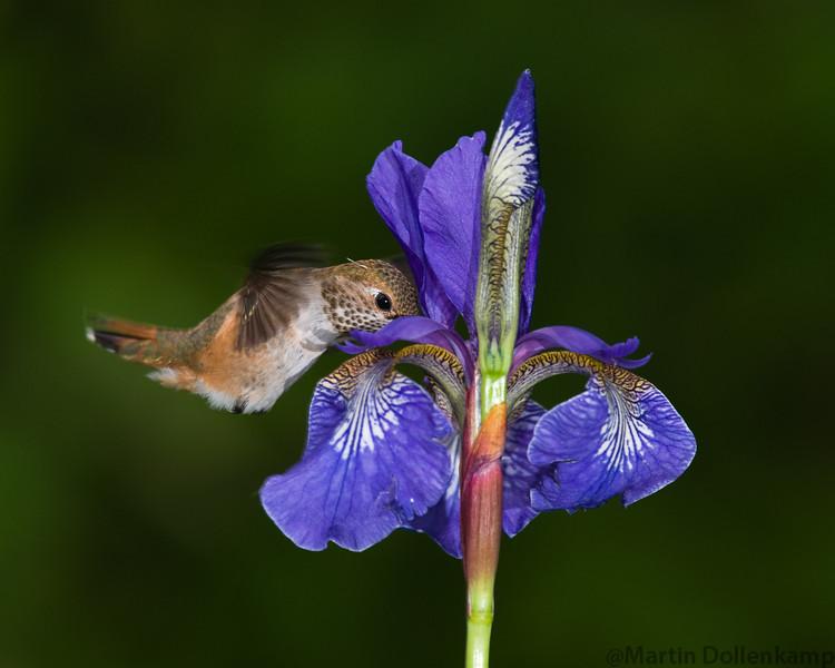 Juvenile Rufous Hummingbird feeding on Blue Iris.