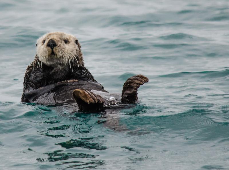 Floating Otter