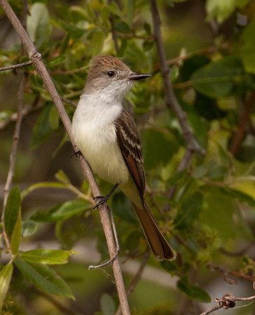 Ash-throated Flycatcher Myiarchus cinerascens
