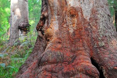 Giant Tree, Denmark, WA