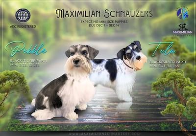 Tula & Pebble Puppies, DOB 12/09/2020