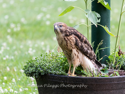 Series: Backyard Hawks & Chicks, 2019