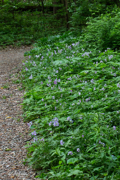 geranium walk 052118-1.jpg