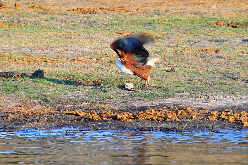 EPV0501 Fish Eagle Leaves Fish Behind