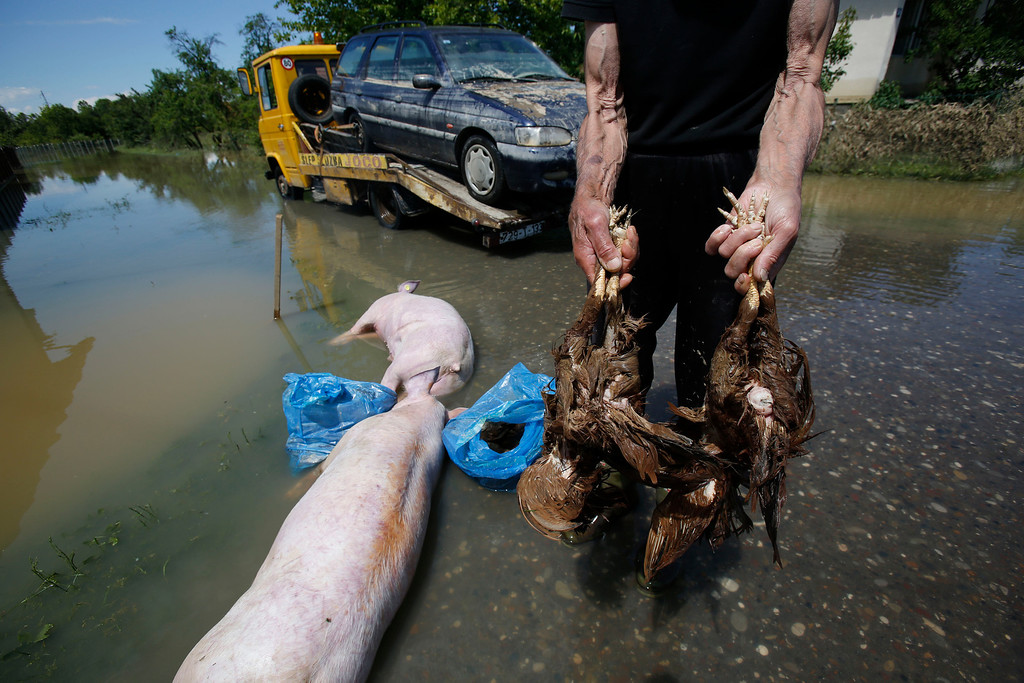. Bosnian man shows a dead livestock near the Bosnian town of Bosanski Samac along river Sava, 200 kms north of Bosnian capital of Sarajevo, on Tuesday, May 20, 2014.  A new calamity emerged Tuesday in the flood-hit Balkans even as emergency workers battled overflowing rivers and evacuated thousands: tons of drowned livestock were posing a health hazard.  With the rainfall stopping and temperatures rising, the withdrawing floodwaters revealed a harrowing sight: thousands of dead cows, pigs, sheep, dogs and other animals that were left behind after their panicked owners fled rapidly advancing torrents. (AP Photo/Amel Emric)